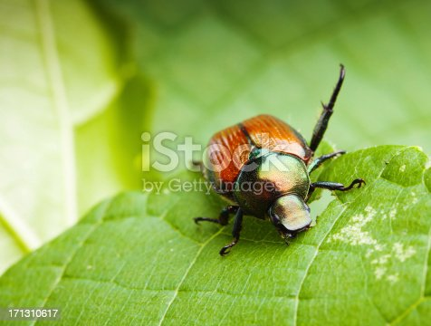 Subject: A Japanese beetle feeding on tender green leaves causing crop devastation.
