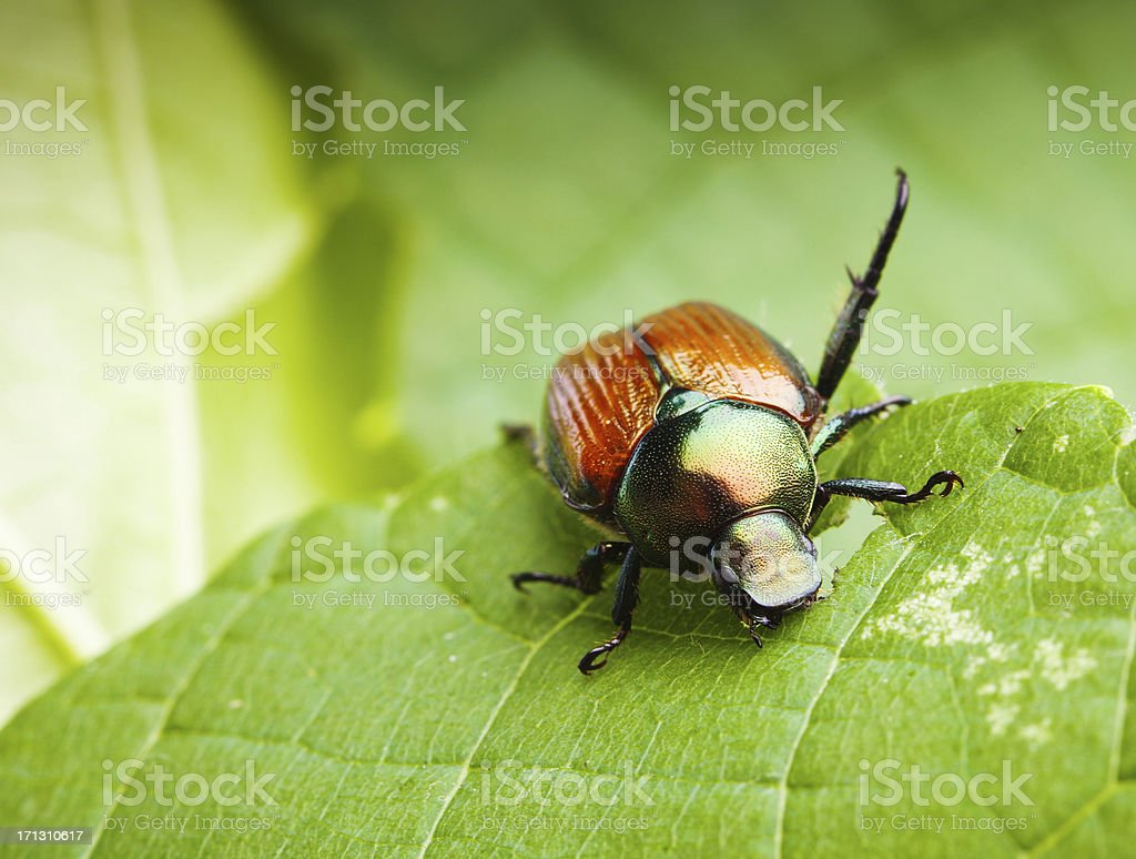 Close-up Macro of a Japanese Beetle Feeding on Leaves Hz stock photo