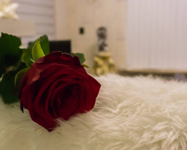 Closeup macro of a red rose laying in a living room for valentines a picture id1065920134?b=1&k=6&m=1065920134&s=612x612&w=0&h=ognkj1yjvgvpbg2tvph fny2vrmcm8j9neqw0ztlqyc=