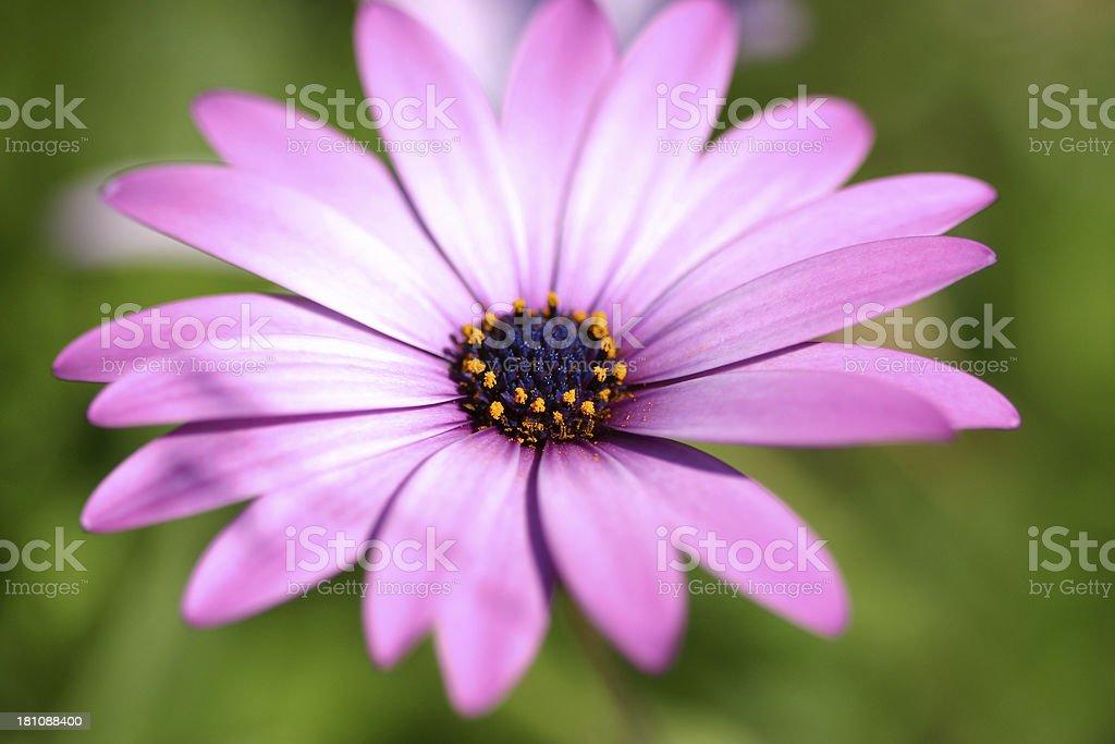 Closeup macro of Flower royalty-free stock photo