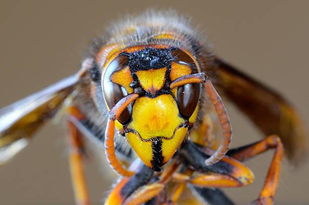 Closeup macro of Japanese giant hornet face stock photo