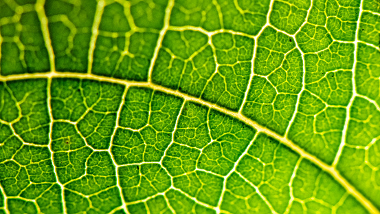 Closeup macro of plant leaf with veins