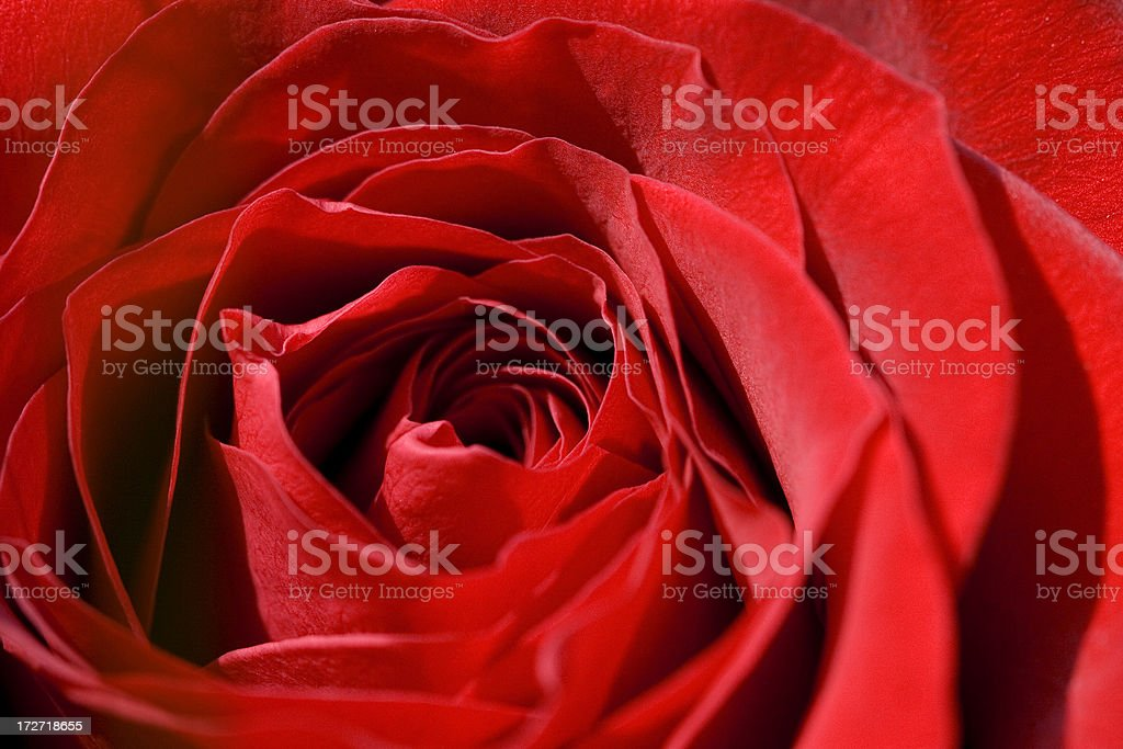 close-up macro of red rose royalty-free stock photo