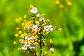 Closeup macro of white yellow golden ragwort wildflowers in Story of the Forest nature trail in Shenandoah Blue Ridge appalachian mountains with bokeh blurry background
