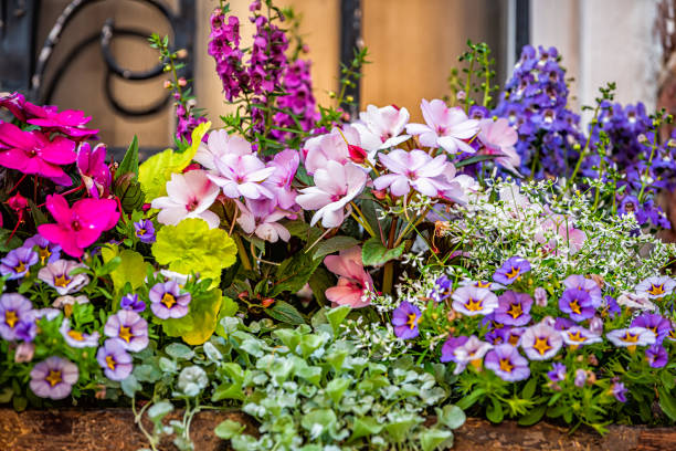 Closeup macro of window purple pink green color pink flowers basket box planter decorations on summer day in Charleston, South Carolina stock photo