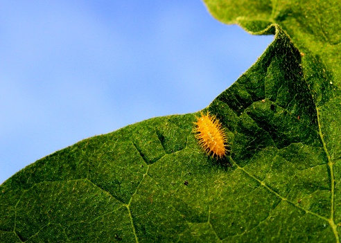 close-up, macro view of a small colorfu - yellow color - caterpillar - insect  on a green plant - leaf  in a home garden in Sri Lanka