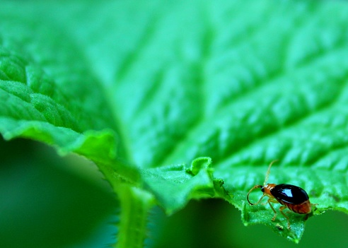close-up - macro - view of a small red - orange color bug - insect - pest - on a green leaf in a home garden in Sri Lanka