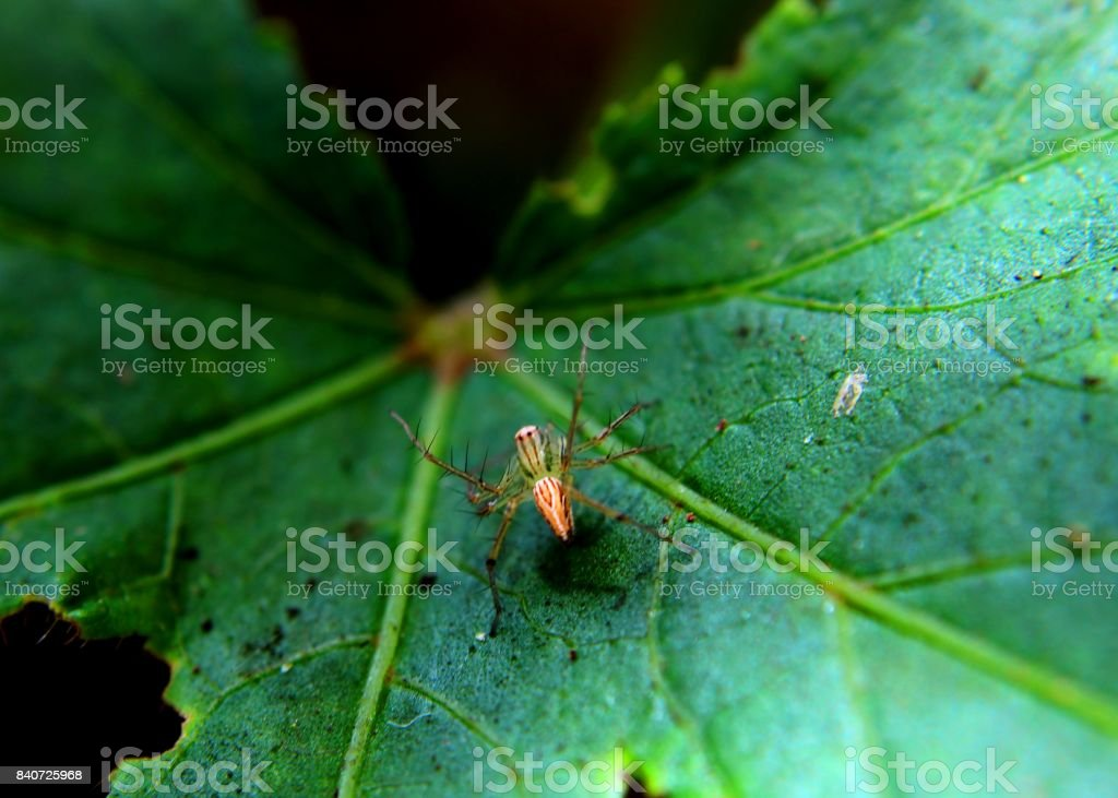 close-up - macro view of a small spider - insect  on a green leaf in a home garden in Sri Lanka stock photo