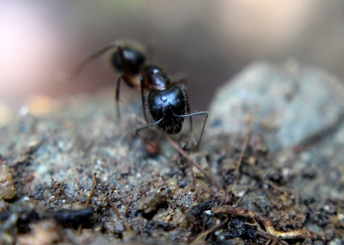 close-up - macro - view of an ant - insect - pest -  on ground in a home garden in Sri Lanka