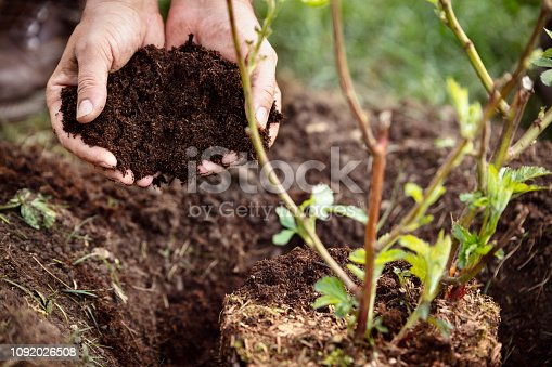 istock Closeup, male hands holding soil humus or mulch, blackberry plant beside 1092026508