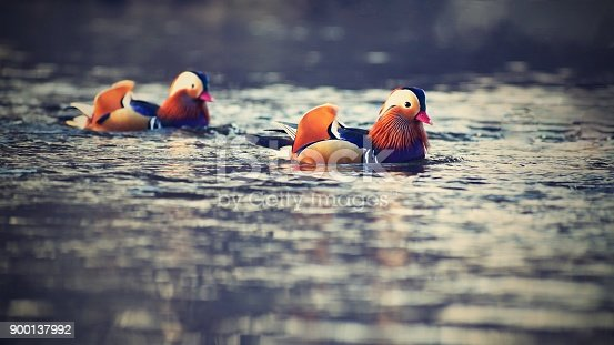 istock Closeup male mandarin duck (Aix galericulata) swimming on the water with reflection. A beautiful bird living in the wild. 900137992