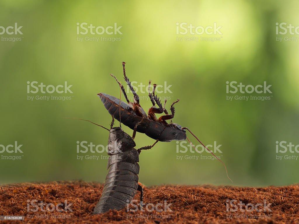 closeup male of Madagascar cockroach raised high cockroach stock photo