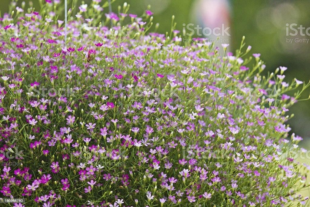 Closeup many little gypsophila flowers royalty-free stock photo