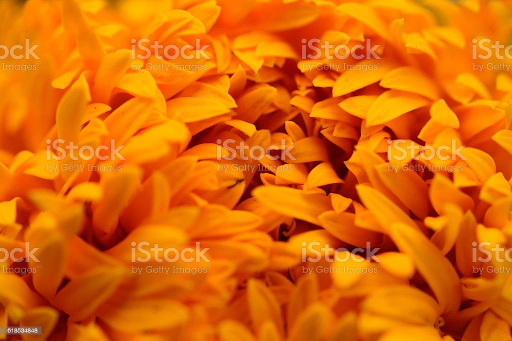 Close-up Marigolds (Tagetes erecta, Mexican marigold, Aztec marigold, African marigold) stock photo