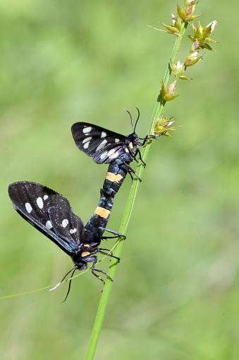 istock Closeup Mating pair Nine-Spotted Moth (Amata Phegea) 1243109539