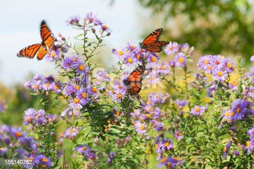 Several monarch butterflies feeding on wild asters in the early autumn.