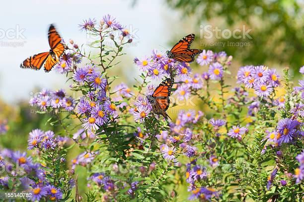 Closeup monarch butterflies resting on flowers picture id155140782?b=1&k=6&m=155140782&s=612x612&h=gh4ueaijafyfespoxihlmu2rhmwpsrgdnmyfkkytjeg=