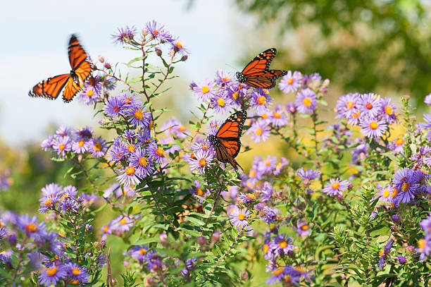 Close-up Monarch butterflies resting on flowers Several monarch butterflies feeding on wild asters in the early autumn. wildflower stock pictures, royalty-free photos & images