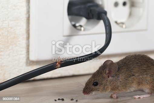 Close-up mouse sits near chewed wire  in an apartment kitchen on the background of the wall and electrical outlet . Inside high-rise buildings. Fight with mice in the apartment. Extermination. Small DOF focus put only to wire.