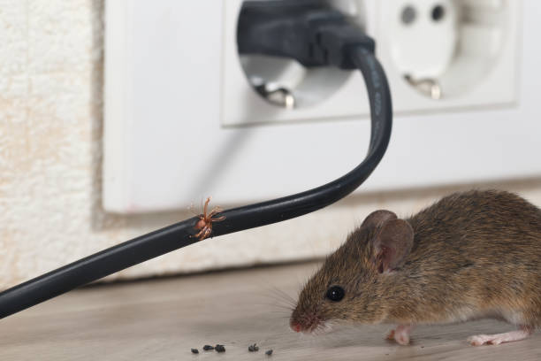Closeup mouse sits near chewed wire  in an apartment kitchen on the background of the wall and electrical outlet . Inside high-rise buildings. Close-up mouse sits near chewed wire  in an apartment kitchen on the background of the wall and electrical outlet . Inside high-rise buildings. Fight with mice in the apartment. Extermination. Small DOF focus put only to wire. rodent stock pictures, royalty-free photos & images