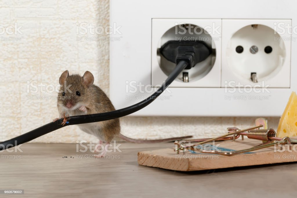 Closeup Maus Steht Hinter Fehlerhaften Draht In Der Nähe Mausefalle ...