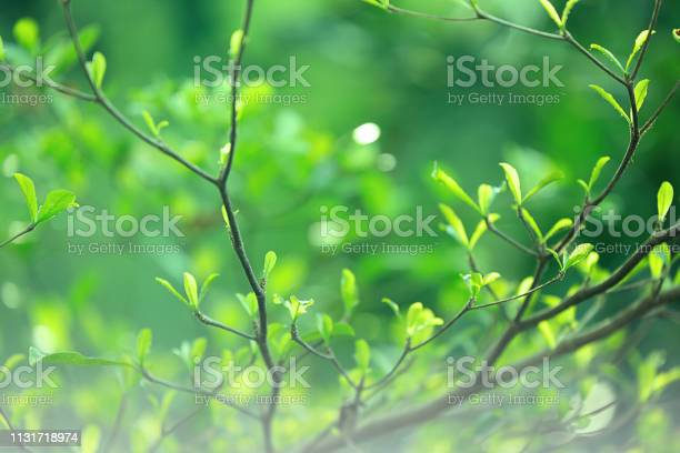 Closeup nature green leaves on blurred greenery background in garden picture id1131718974?b=1&k=6&m=1131718974&s=612x612&h=dizdpyemxv4kiejwuag ktrbbpgwlqvs6zjb4sf50j4=