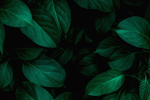 closeup nature view of green leaf and water drop, dark wallpaper concept, nature background, tropical leaf