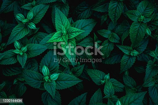 909846922 istock photo closeup nature view of green leaf texture, dark wallpaper concept 1220144434