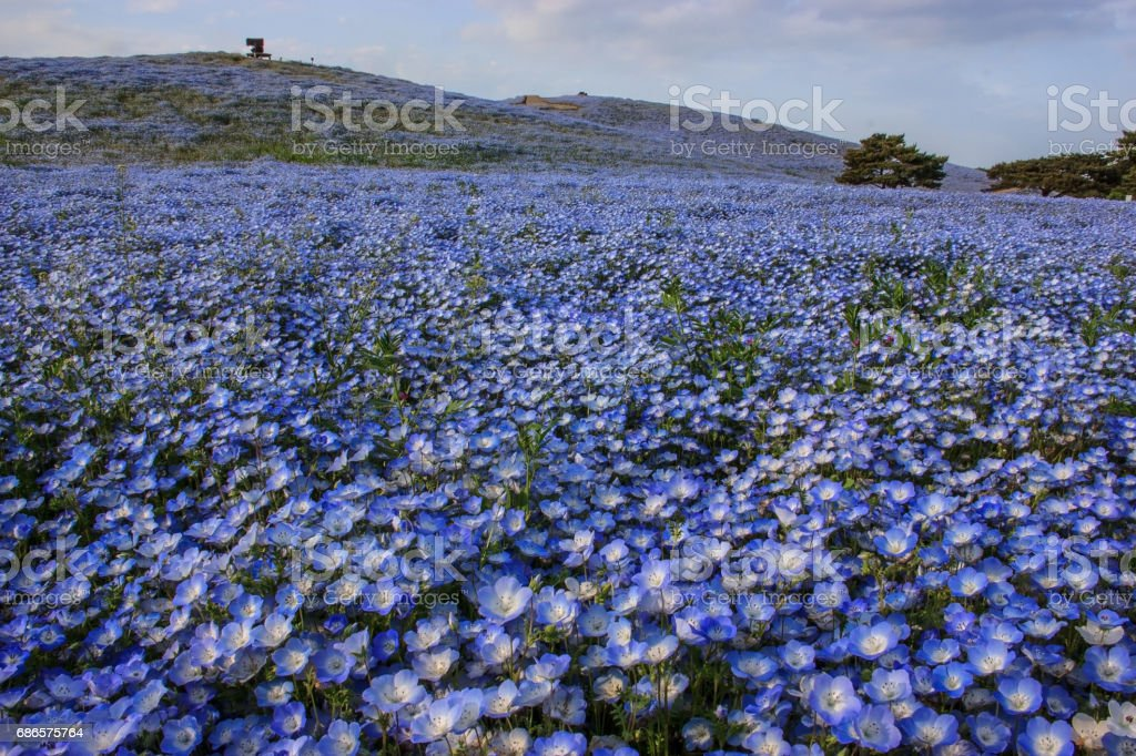 Close-up nemophila (baby blue eyes) flowers at Seaside Park, Ibaraki royalty free stockfoto
