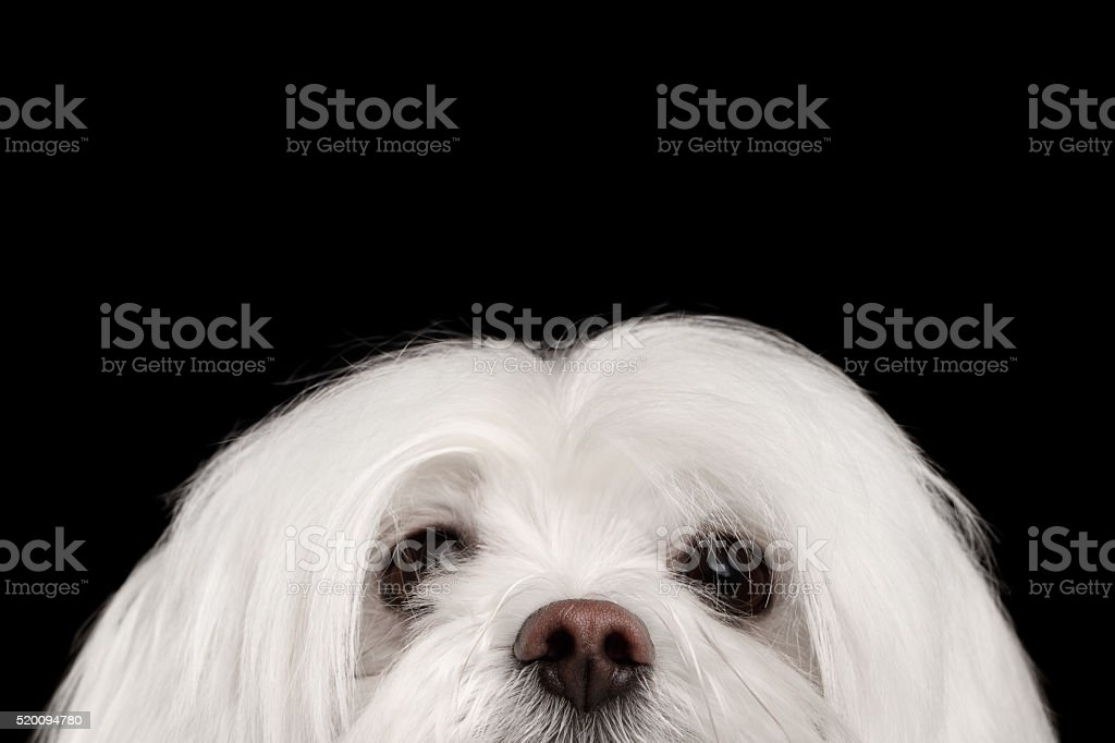 Closeup Nosey White Maltese Dog Looking in Camera isolated Black stock photo
