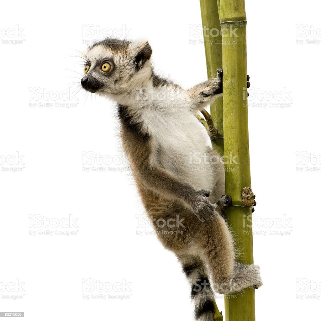 Close-up of a 6 week old ring-tailed lemur  catta stock photo