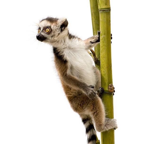 close-up of a 6 week old ring-tailed lemur  catta - lemur bildbanksfoton och bilder