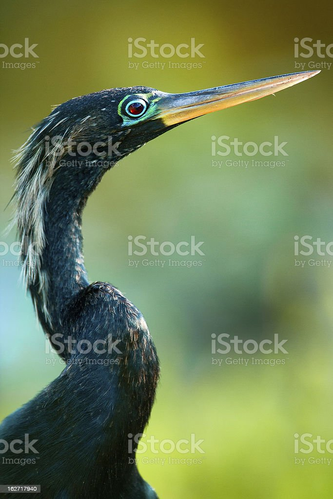 Close-up of a Anhinga royalty-free stock photo