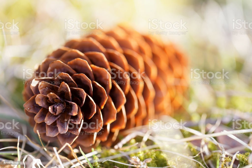 Closeup of a backlit fir cone laying on the ground stock photo