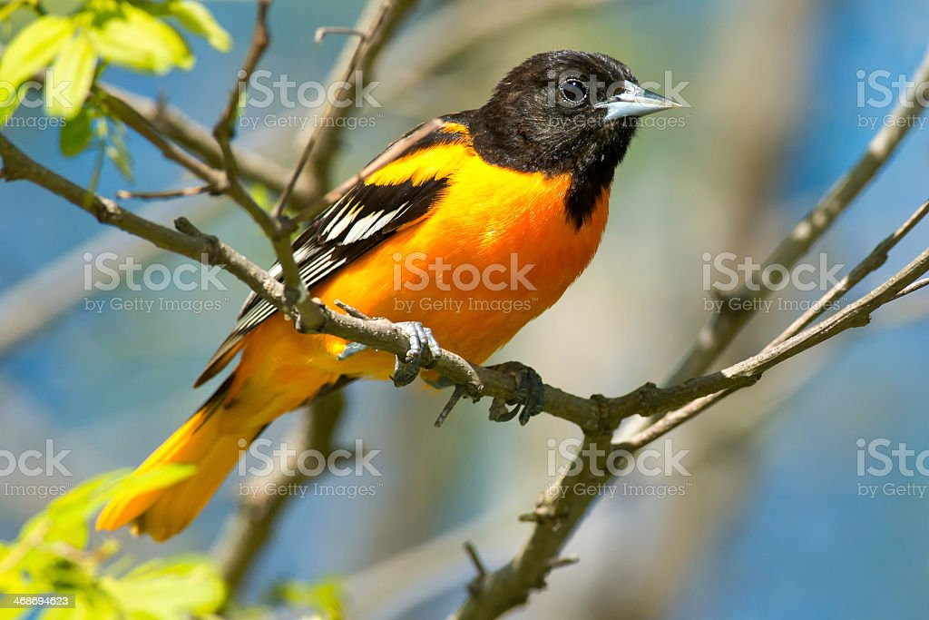 Close-up of a Baltimore oriole sitting on a branch royalty-free stock photo