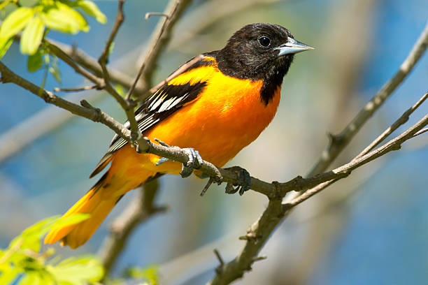 Close-up of a Baltimore oriole sitting on a branch stock photo