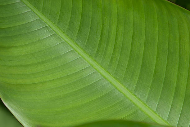 Close-up of a Banana Leaf 1 stock photo