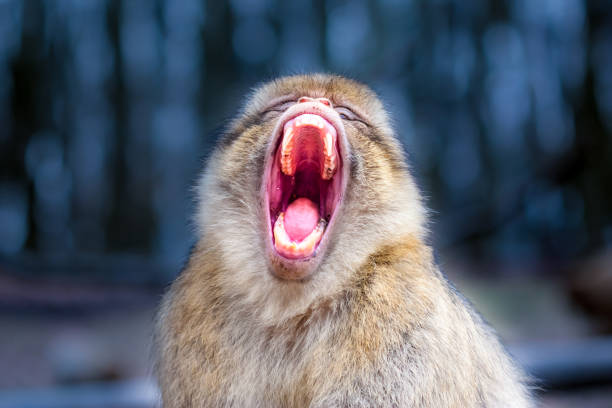 Close-up of a Barbary macaque (Macaca sylvanus) yawning or screaming stock photo