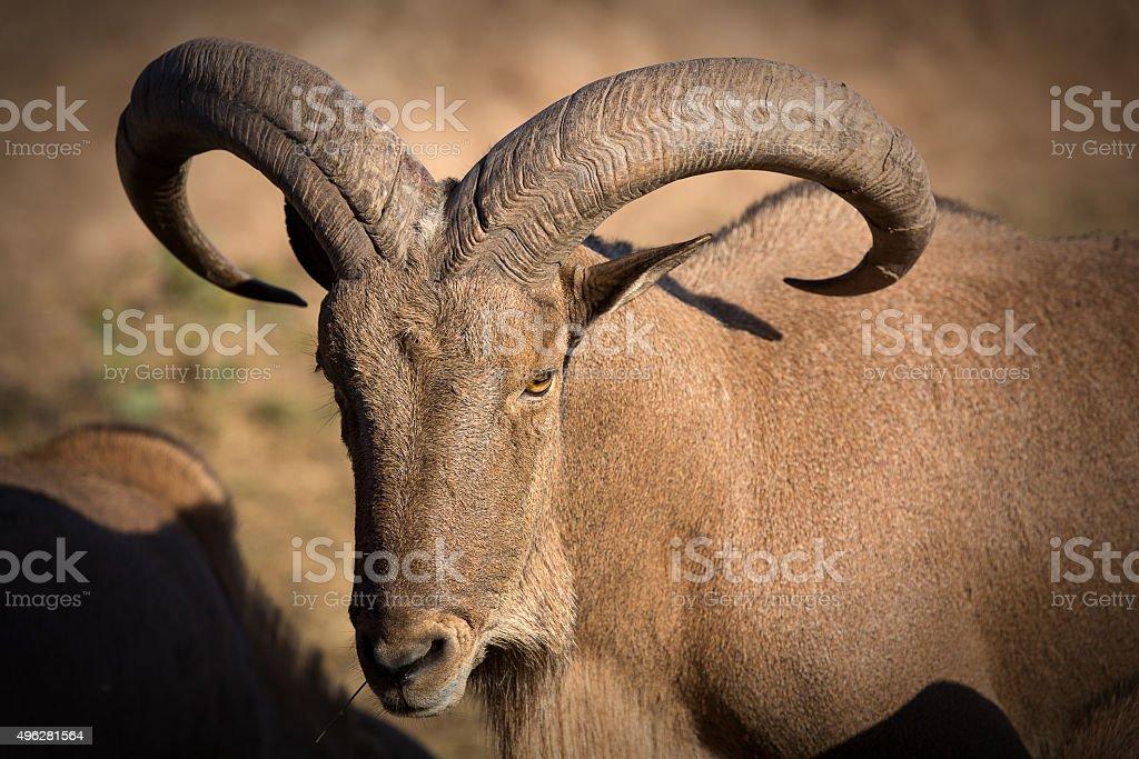 Close-up of a Barbary sheep stock photo