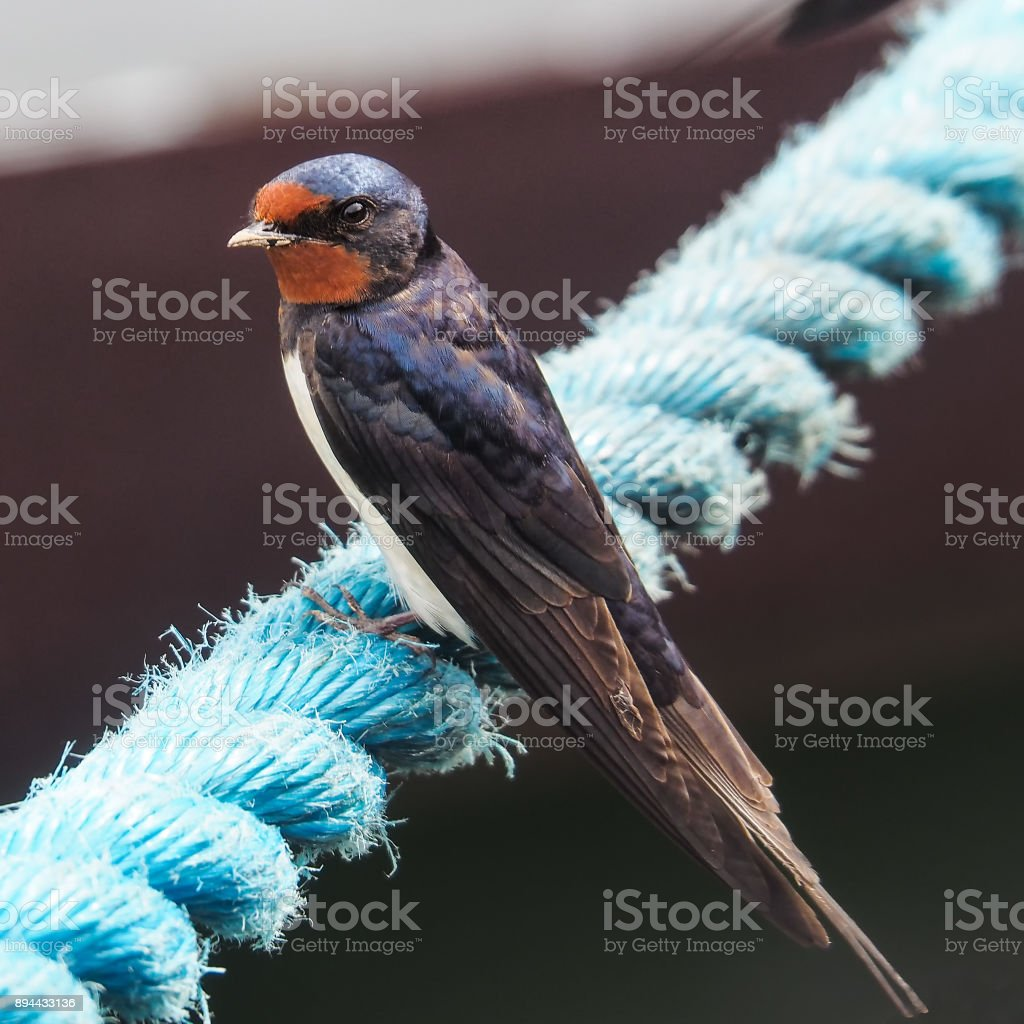 close-up of a barn swallow stock photo