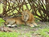 Closeup of a beautiful adult lion in the African savannah, Tanzania