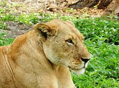 Closeup of a beautiful adult lioness in the African savannah, Tanzania