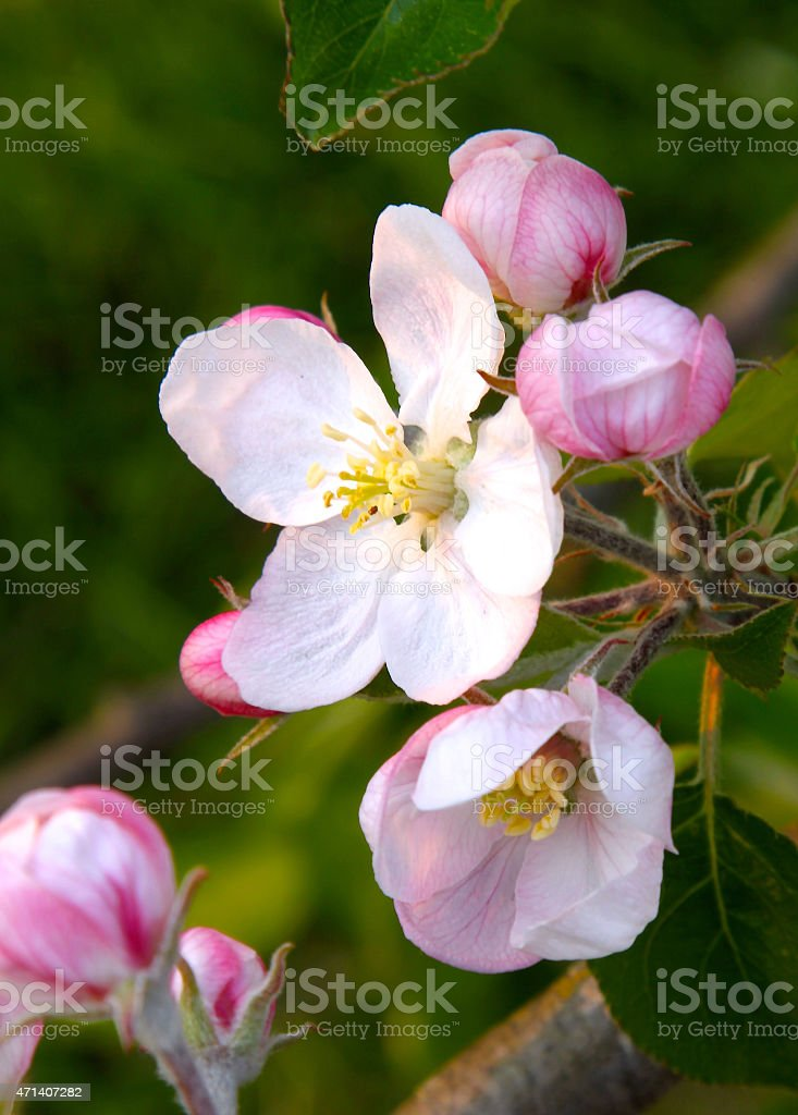 Close-up Of A Beautiful Apple Blossom stock photo