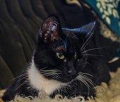 Closeup of a beautiful black and white tuxedo cat