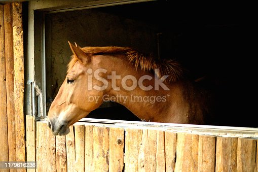 Close-up of a beautiful chestnut colored stallion