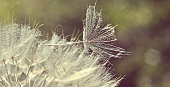 Close-up of a beautiful dandelion with flying seeds
