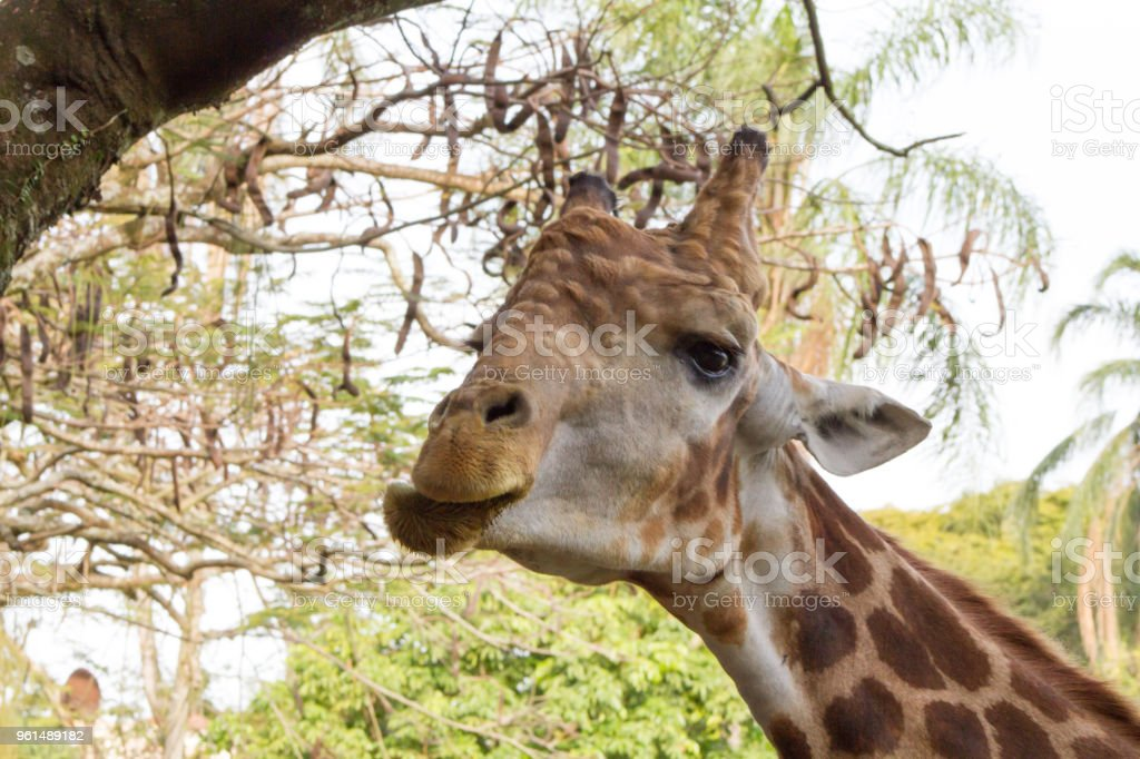 Close-up of a beautiful giraffe in front of some green trees stock photo