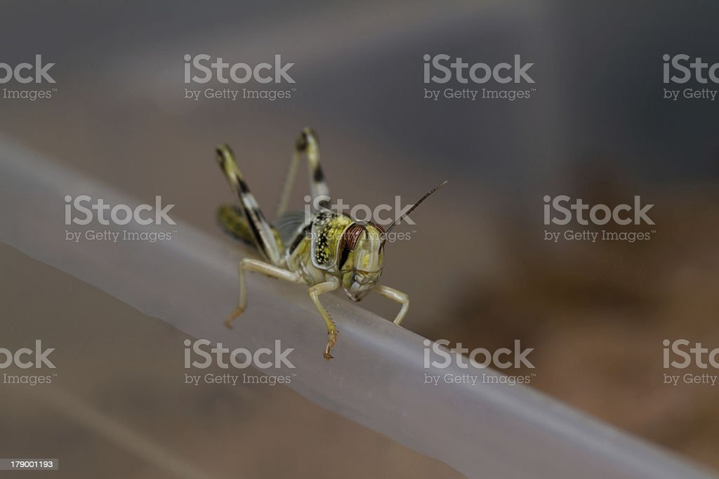 close-up of a beautiful locust royalty-free stock photo