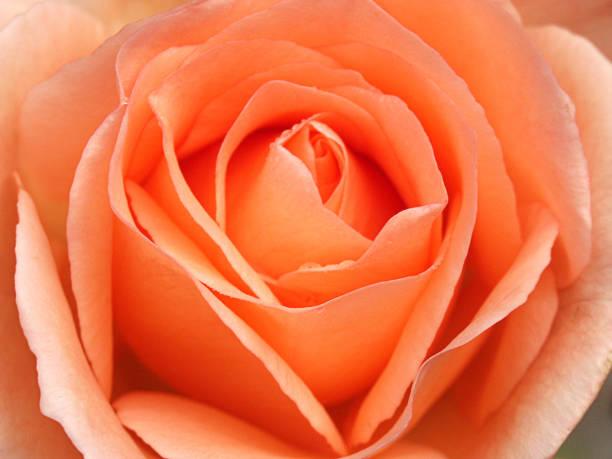 Close-up of a beautiful rose petals stock photo
