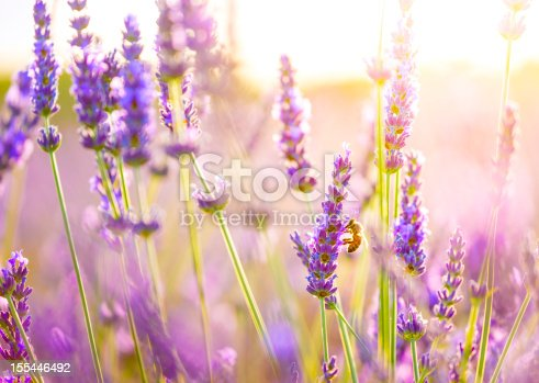 Close up of lavender with a bee enjoying fresh flowers. Photo taken in Provence, France.